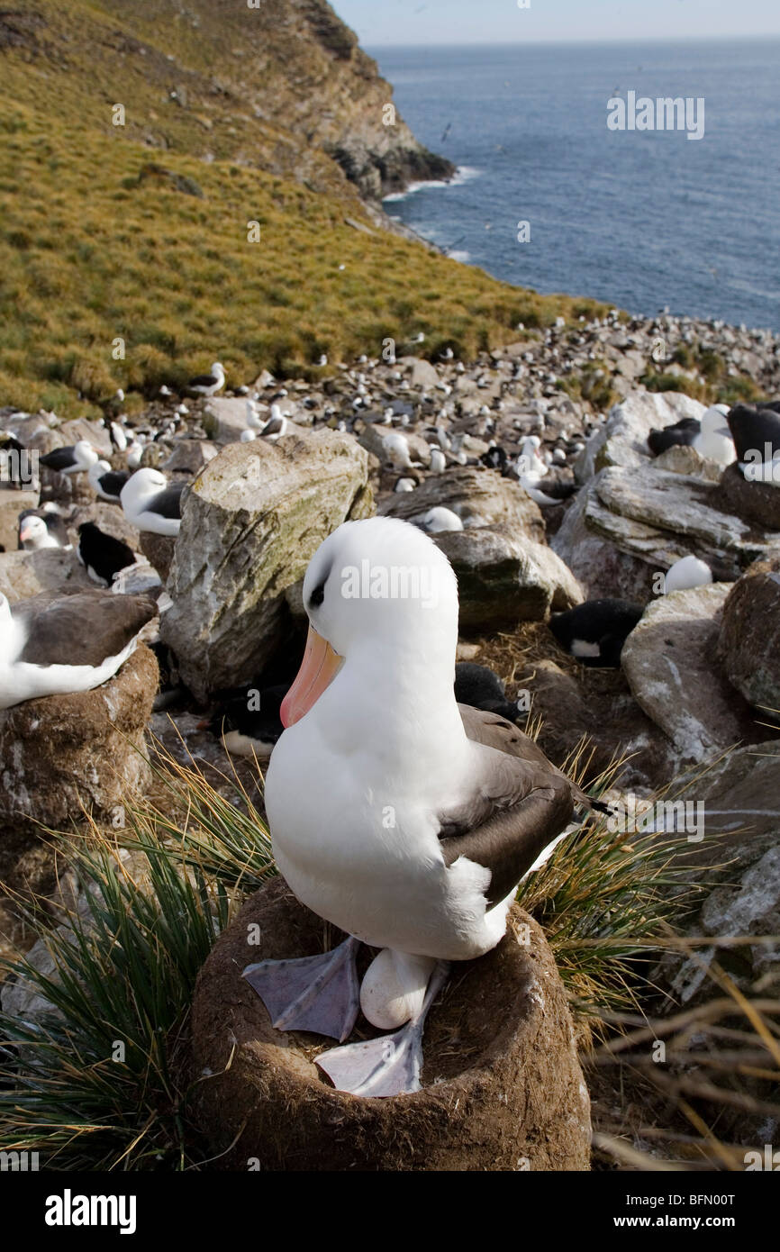 Falkland Islands; West Point Island. Black-browed albatross incubating egg in a clifftop colony shared with rockhopper Stock Photo