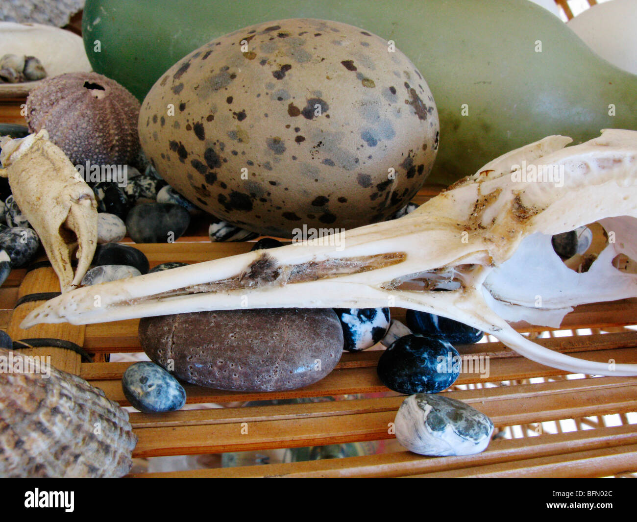 Falkland Islands. Strandline collection - bird skull, egg; crab claw, sea urchin, pebbles and shells. - Stock Image