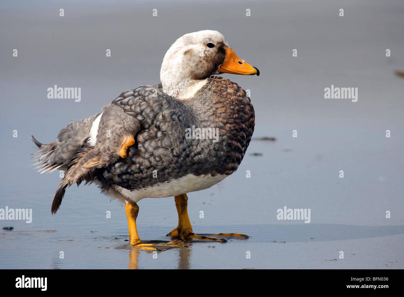 Falkland Islands; Sea Lion Island. Male flightless steamer duck. - Stock Image