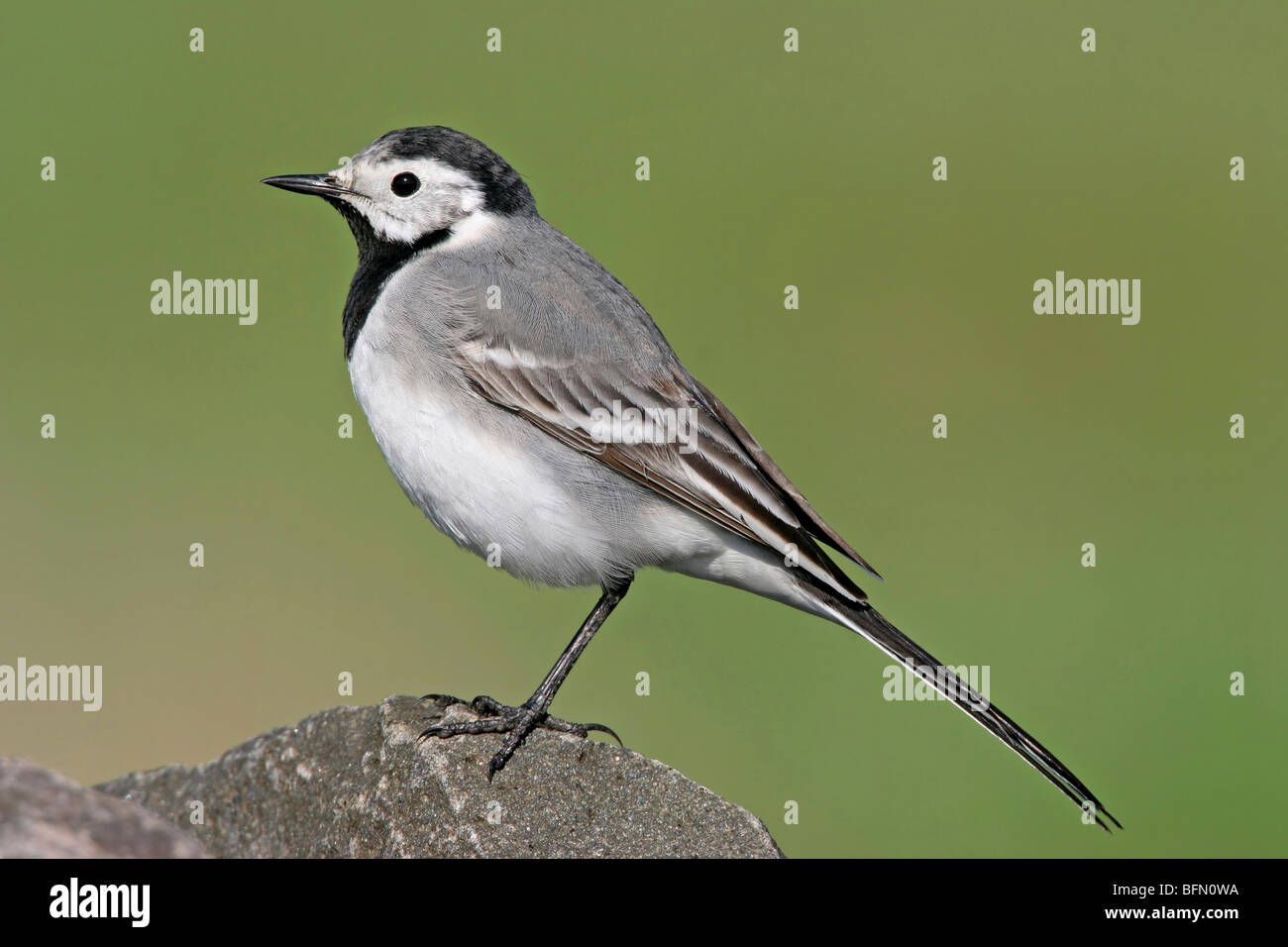pied wagtail (Motacilla alba), sitting on a stone, Germany - Stock Image