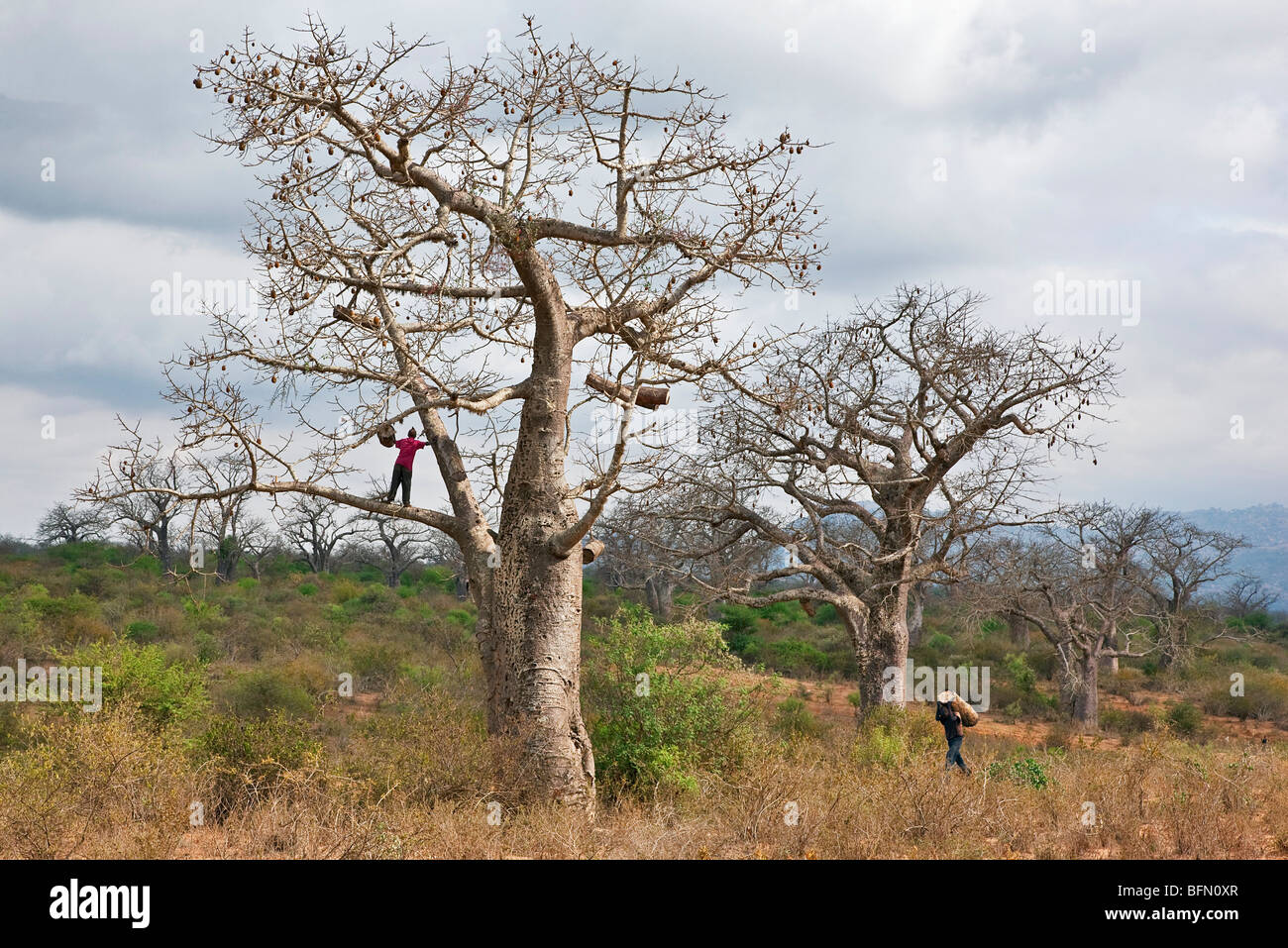 Kenya, Kibwezi. A man carries a traditional beehive to his friend for hanging in a large baobab tree. - Stock Image