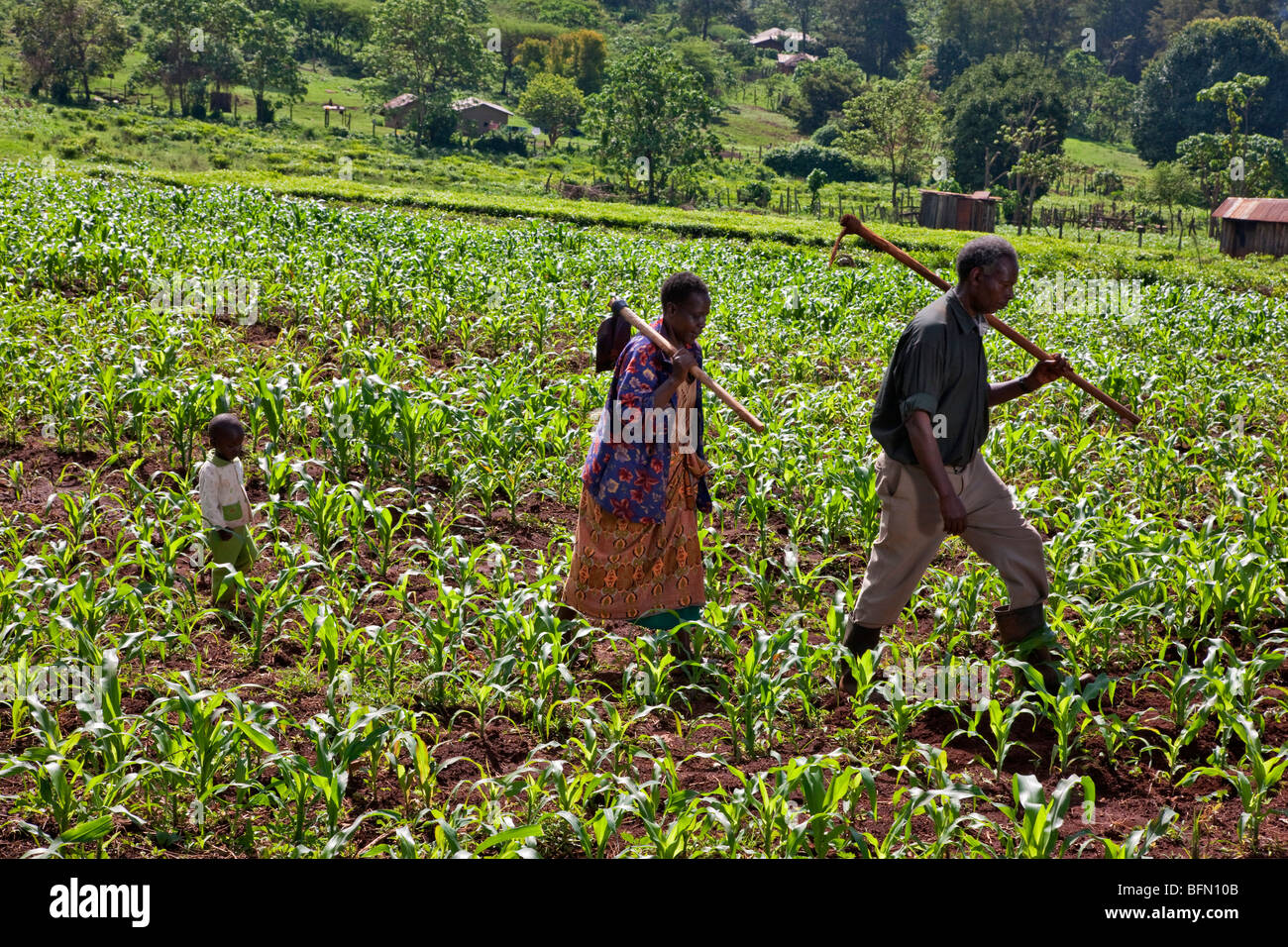 Kenya, Kapsabet District. An elderly couple accompanied by their grandson go home after weeding a field of maize. - Stock Image