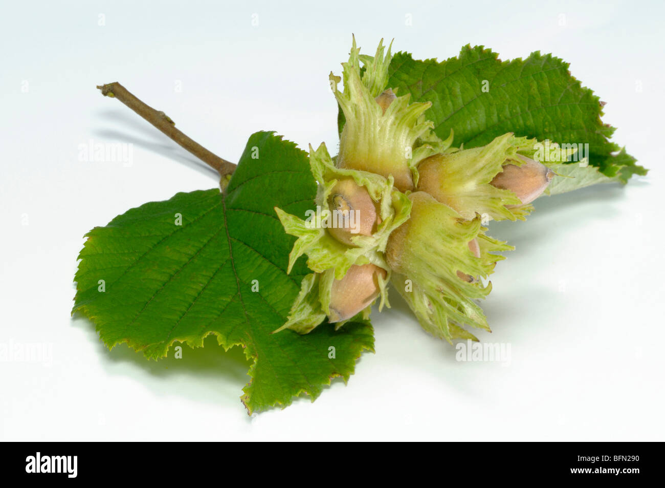 Common Hazel (Corylus avellana), twig with nuts and leaves, studio picture. - Stock Image