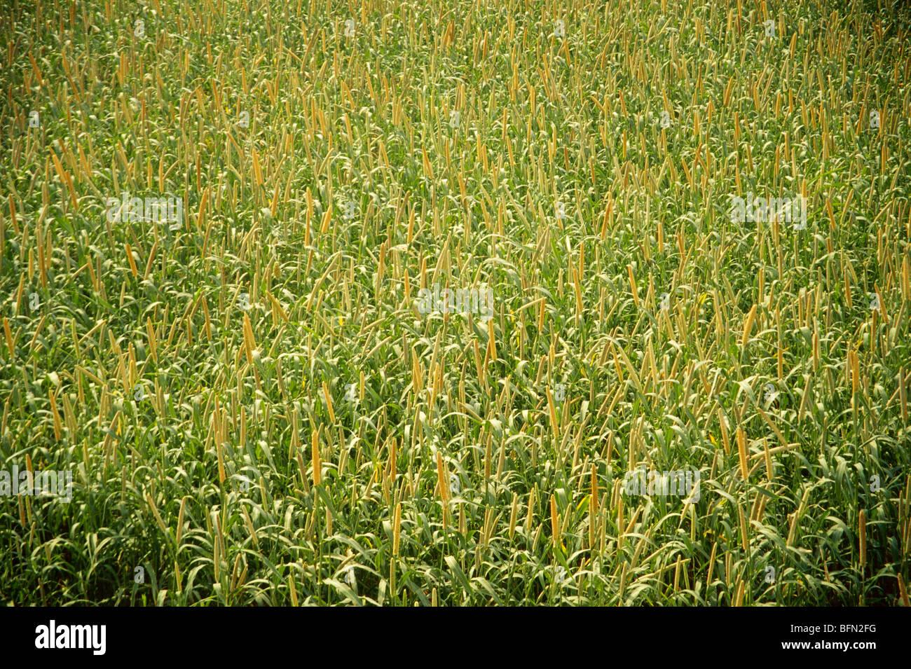 Bajra crop ; India - Stock Image