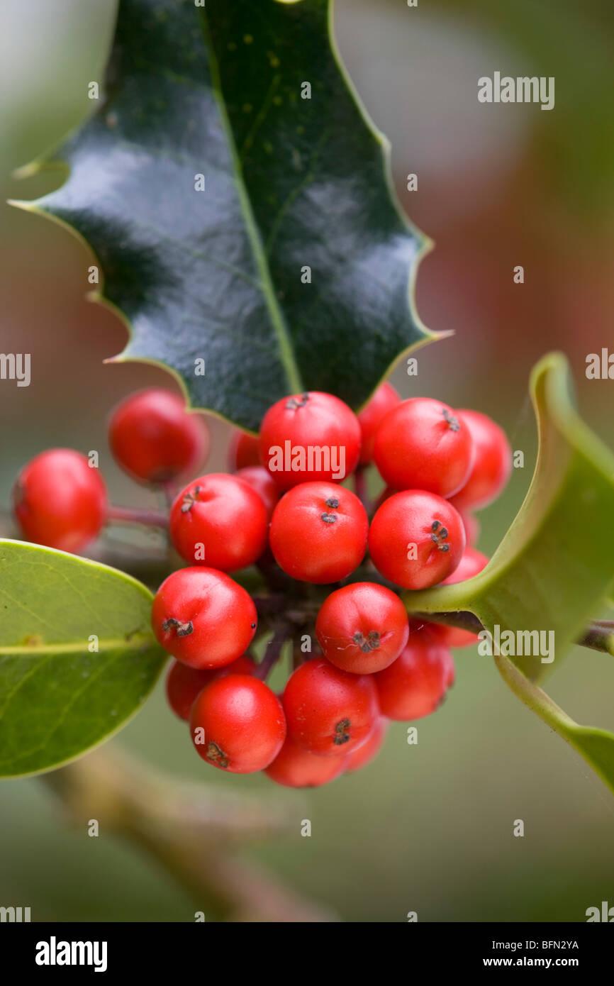 Holly berries; Ilex aquifolium; taken with gold reflector - Stock Image