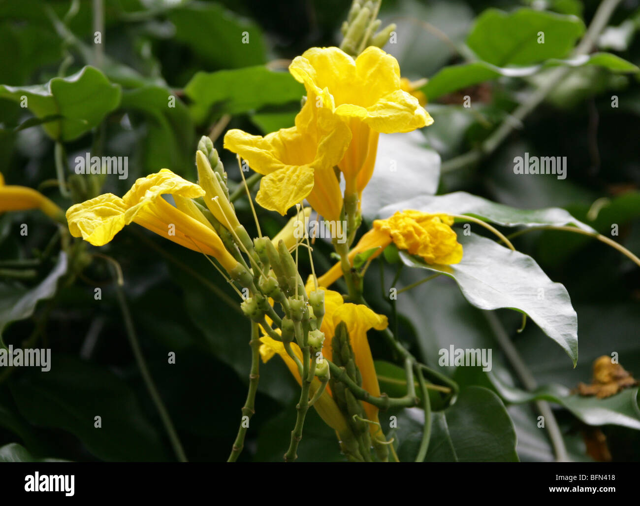 Yellow Trumpet Vine Stock Photos Yellow Trumpet Vine Stock Images