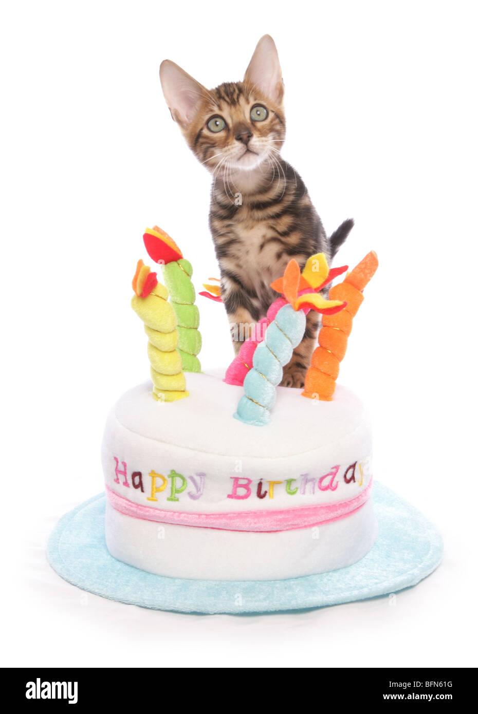 Fabulous Bengal Kitten On Birthday Cake Hat Single Young Male Studio Stock Funny Birthday Cards Online Aboleapandamsfinfo
