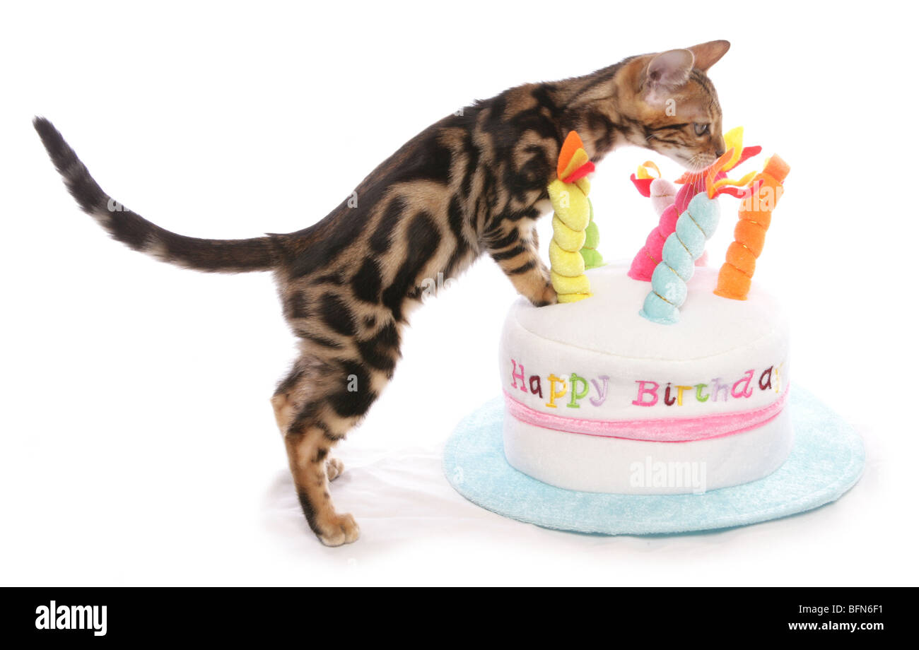Bengal kitten on birthday cake hat Single young male Studio