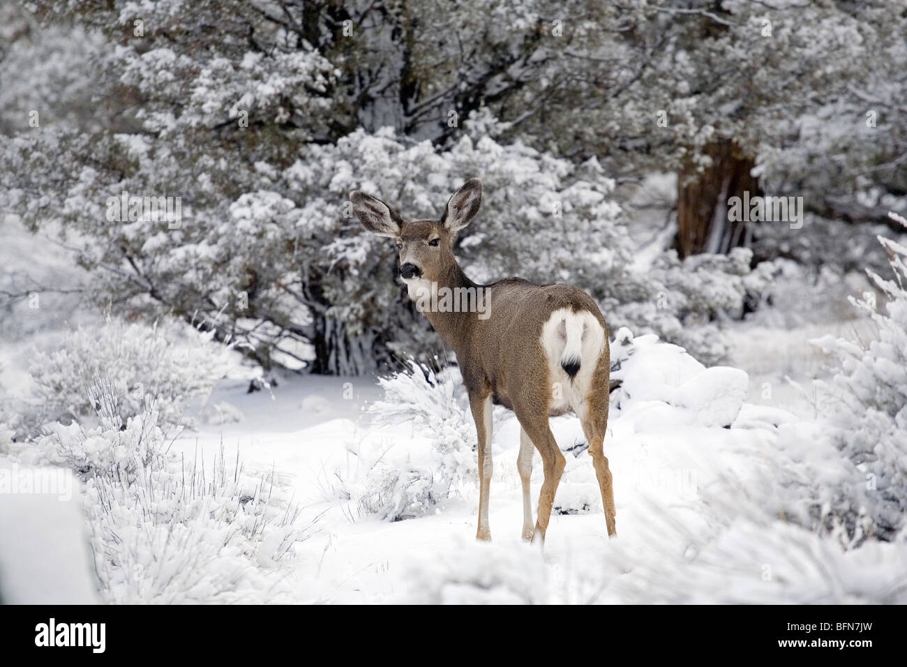 Mule deer browse in the Badlands Wilderness during a winter snowstorm. - Stock Image