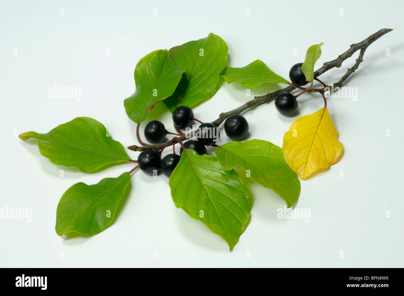 Alder Buckthorn (Frangula alnus), twig with berries, studio picture. - Stock Image