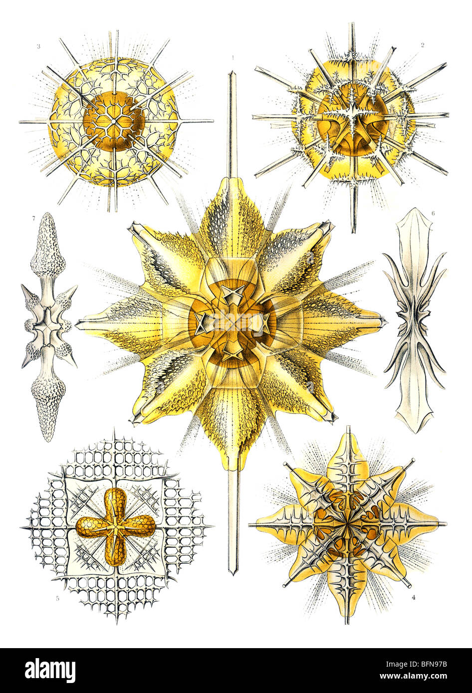 The 21st plate from Ernst Haeckel's Kunstformen der Natur (1904), depicting radiolarians classified as Acanthometra. - Stock Image