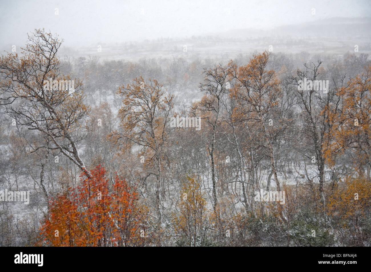 first snow snowfall snow storm winter mood atmospheric iconic Sweden Jämtland Storulvån - Stock Image