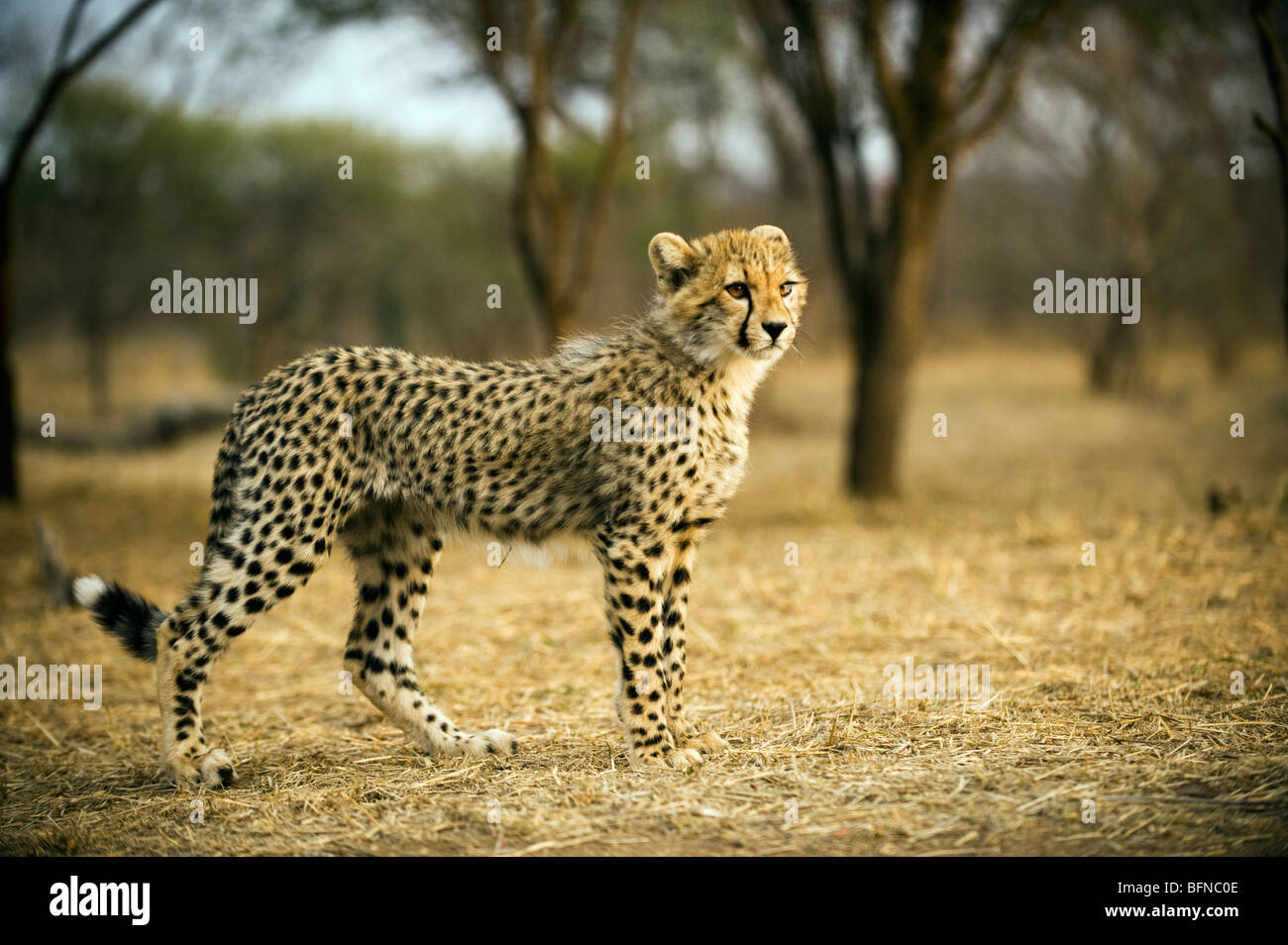 Cheetah Cub Portrait - Stock Image