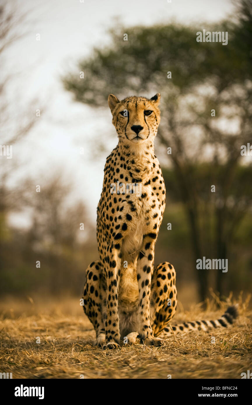 Portrait of a Cheetah - Stock Image