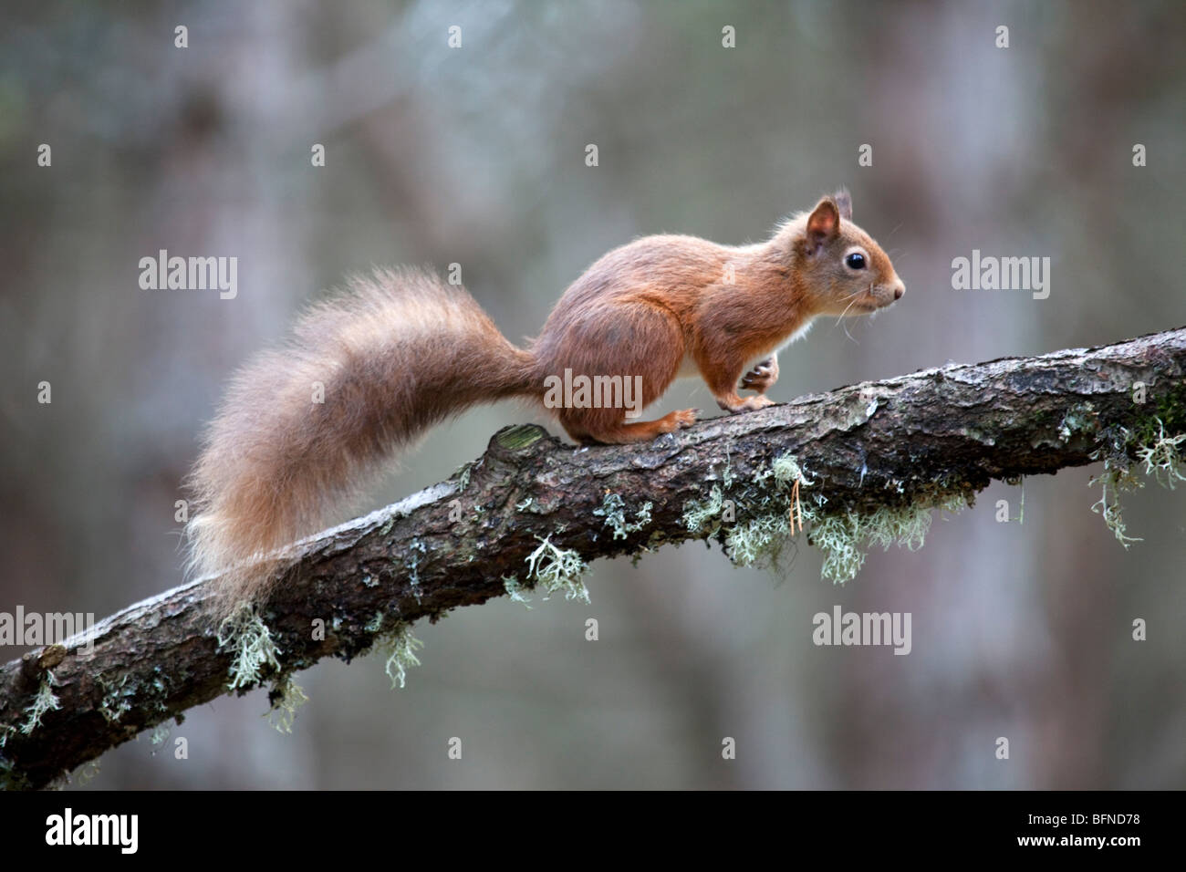 Red Squirrel Sciurus vulgaris in Scottish Cairngorms pine forest perched on tree branch. - Stock Image