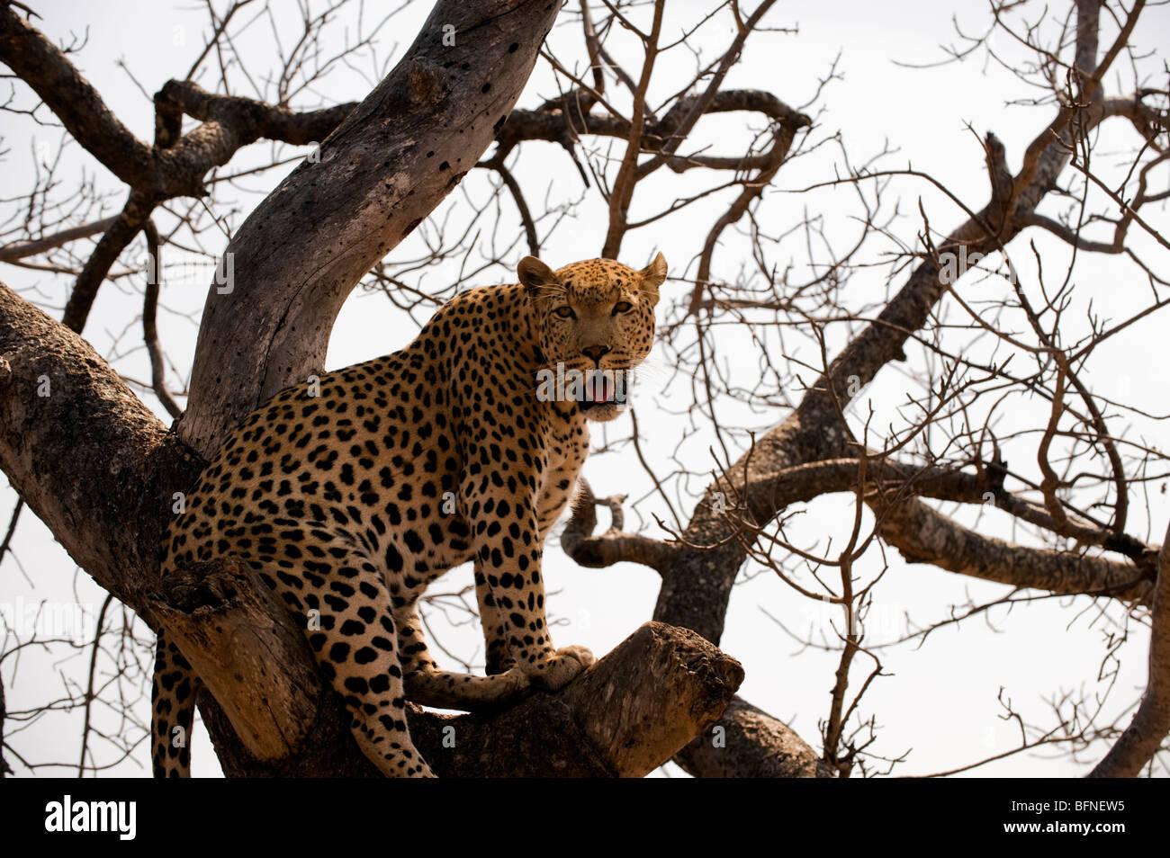 Male Leopard in Tree - Stock Image