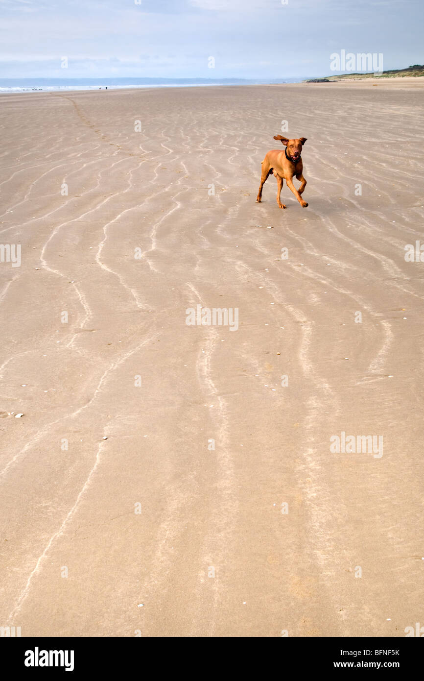 Hungarian Vizsla dog running on sandy beach at Pembrey sands mid Wales - Stock Image