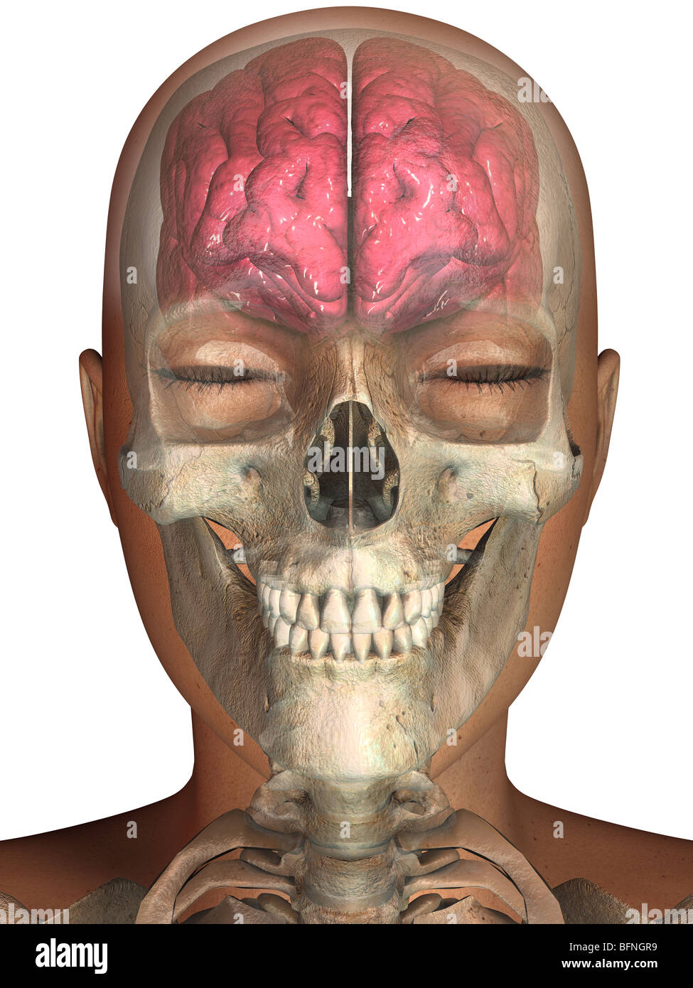 illustration of the human brain and skull seen within a transparent ...