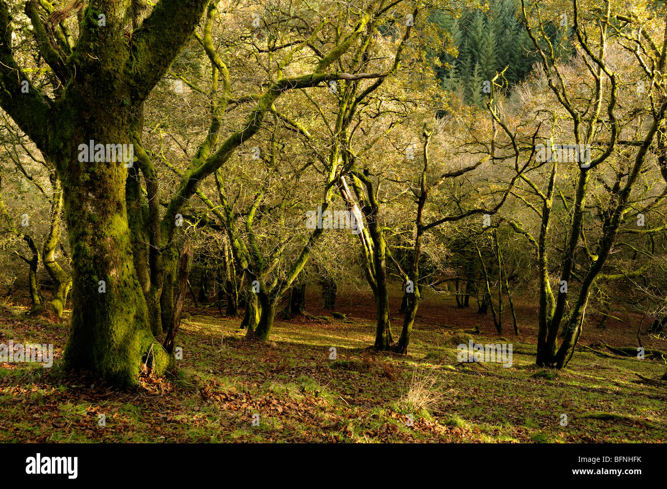 A twisted woodland area on a hillside in Exmoor lit by dappled light - Stock Image