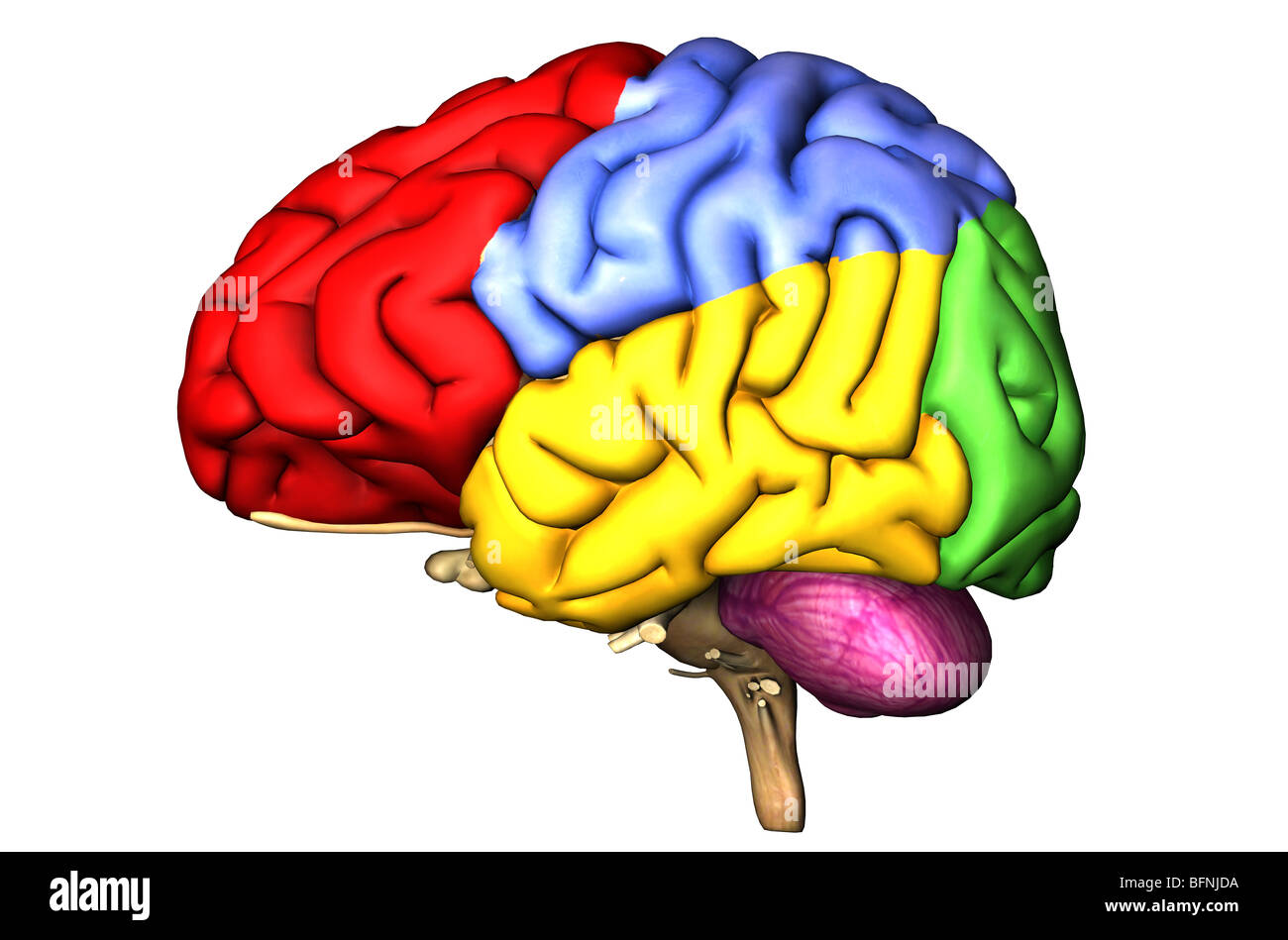 Illustration of the human brain showing the cerebral lobes and Stock ...
