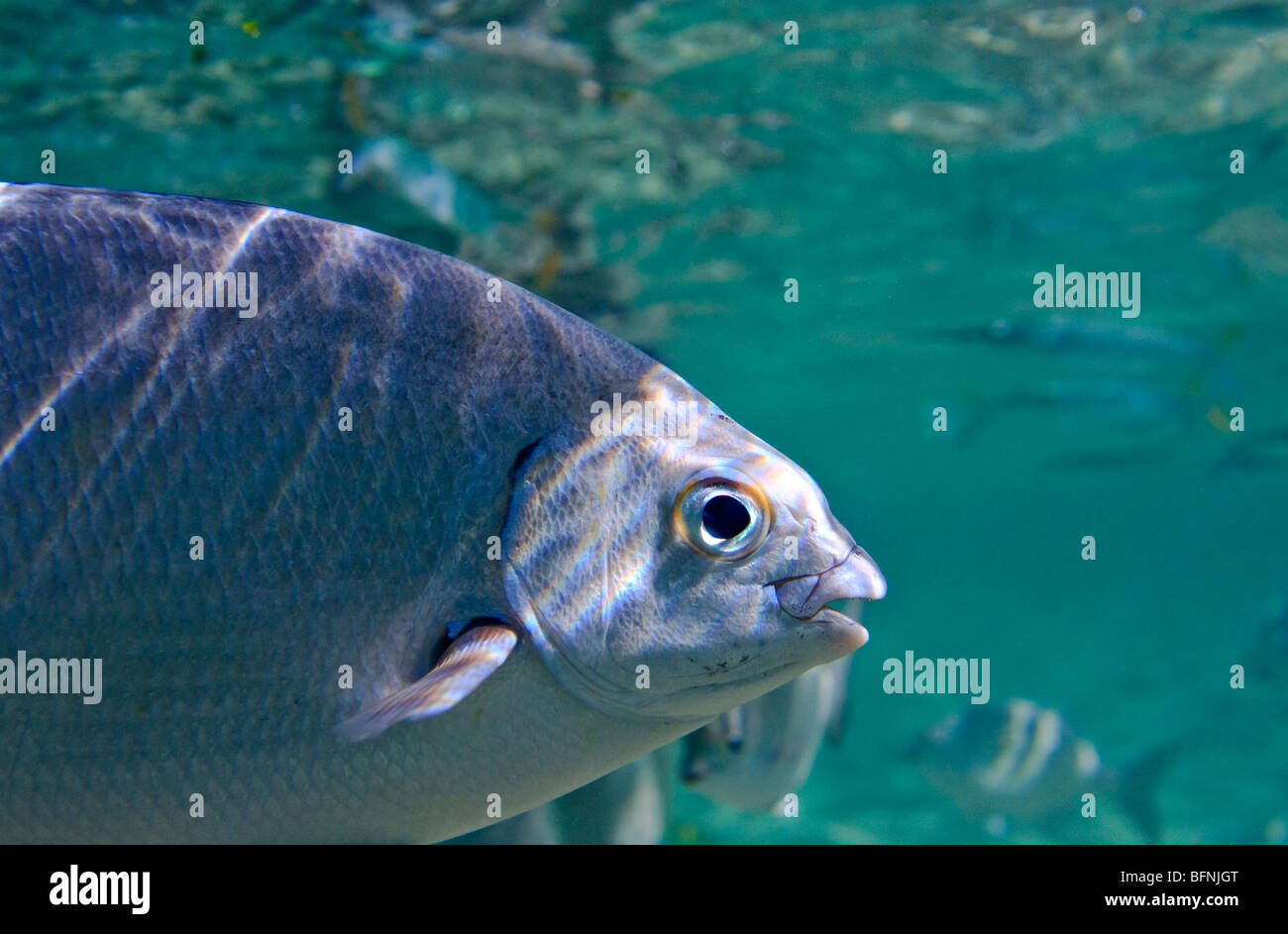 Underwater close-up view of a saltwater fish, ocean - Stock Image