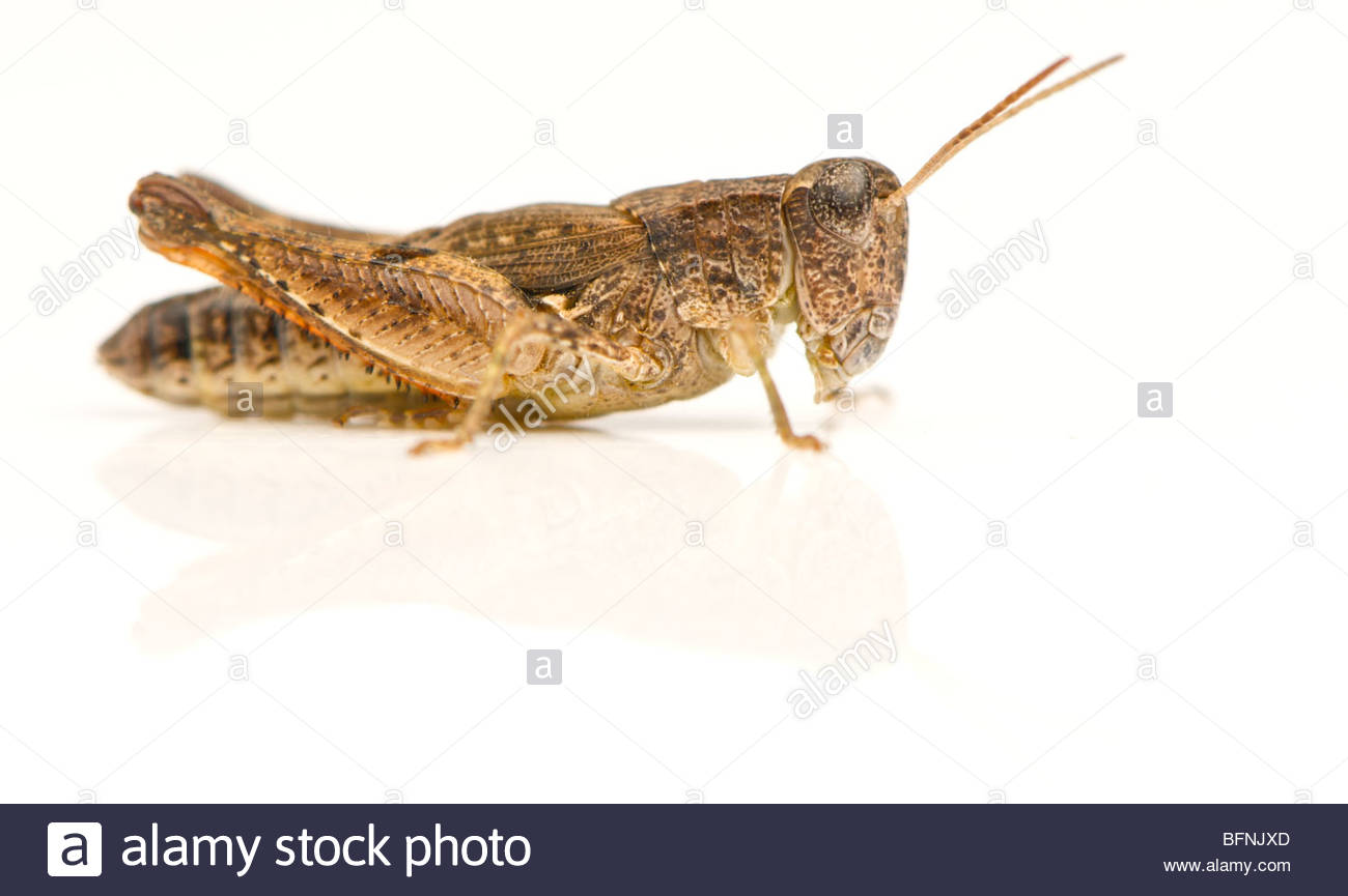 Full body studio image of an Australian Plague Locust. Stock Photo