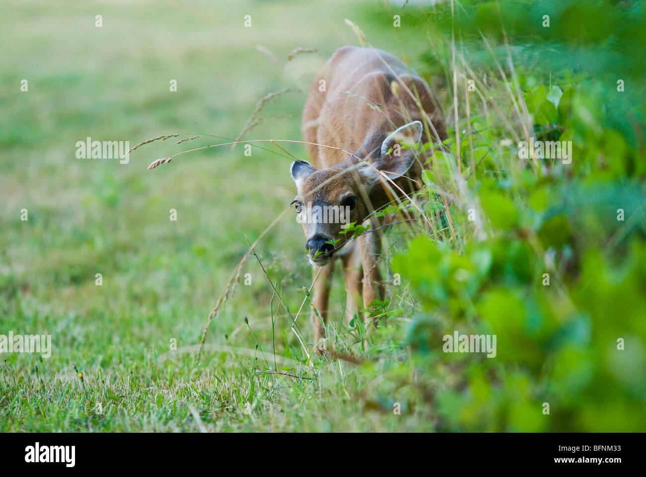 A fawn deer looking curiously through some grass. - Stock Image