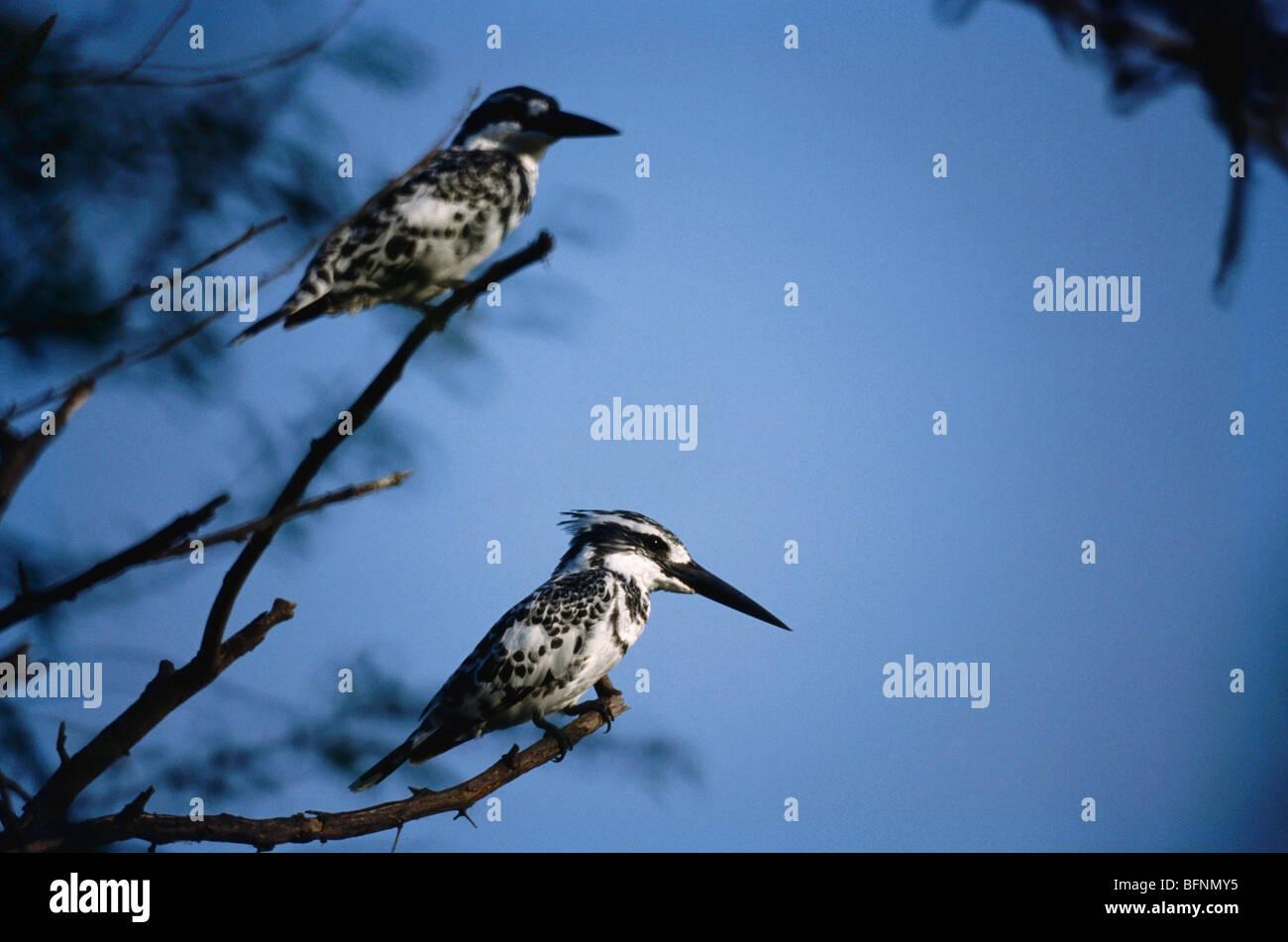PRM 60051 : Birds ; Lesser pied kingfisher pair ceryle rudis ; Bharatpur national park  ; Rajasthan ; India - Stock Image