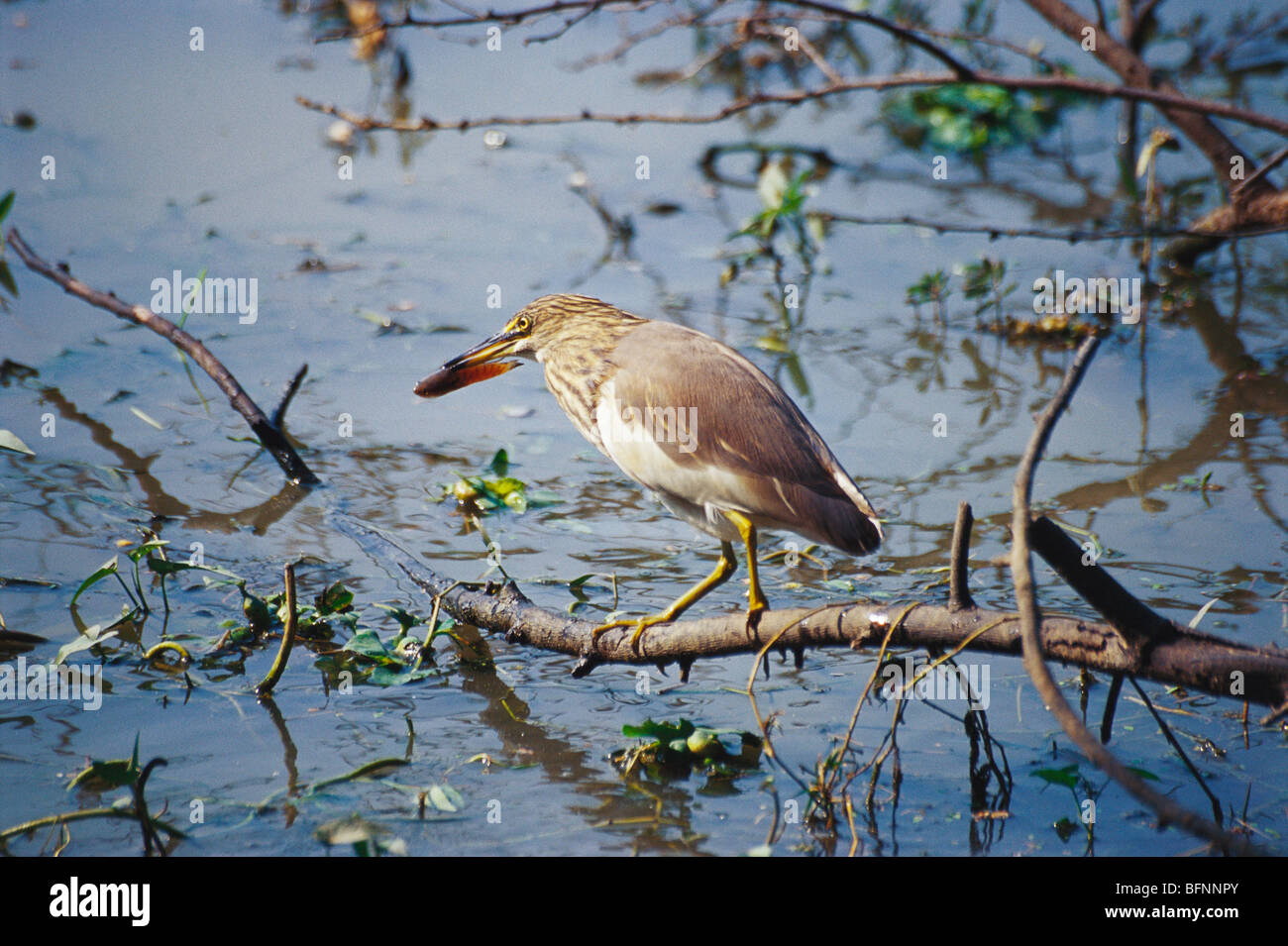 UGA 60171 : Birds ; Paddy bird Pond Heron ardeola grayii with feed ; Bharatpur bird sanctuary ; Rajasthan ; India - Stock Image
