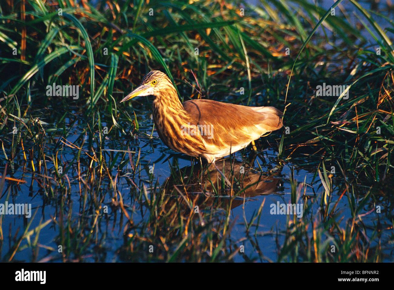 UGA 60172 : Birds ; Pond Heron ardeola grayii ; Bharatpur bird sanctuary ; Rajasthan ; India - Stock Image