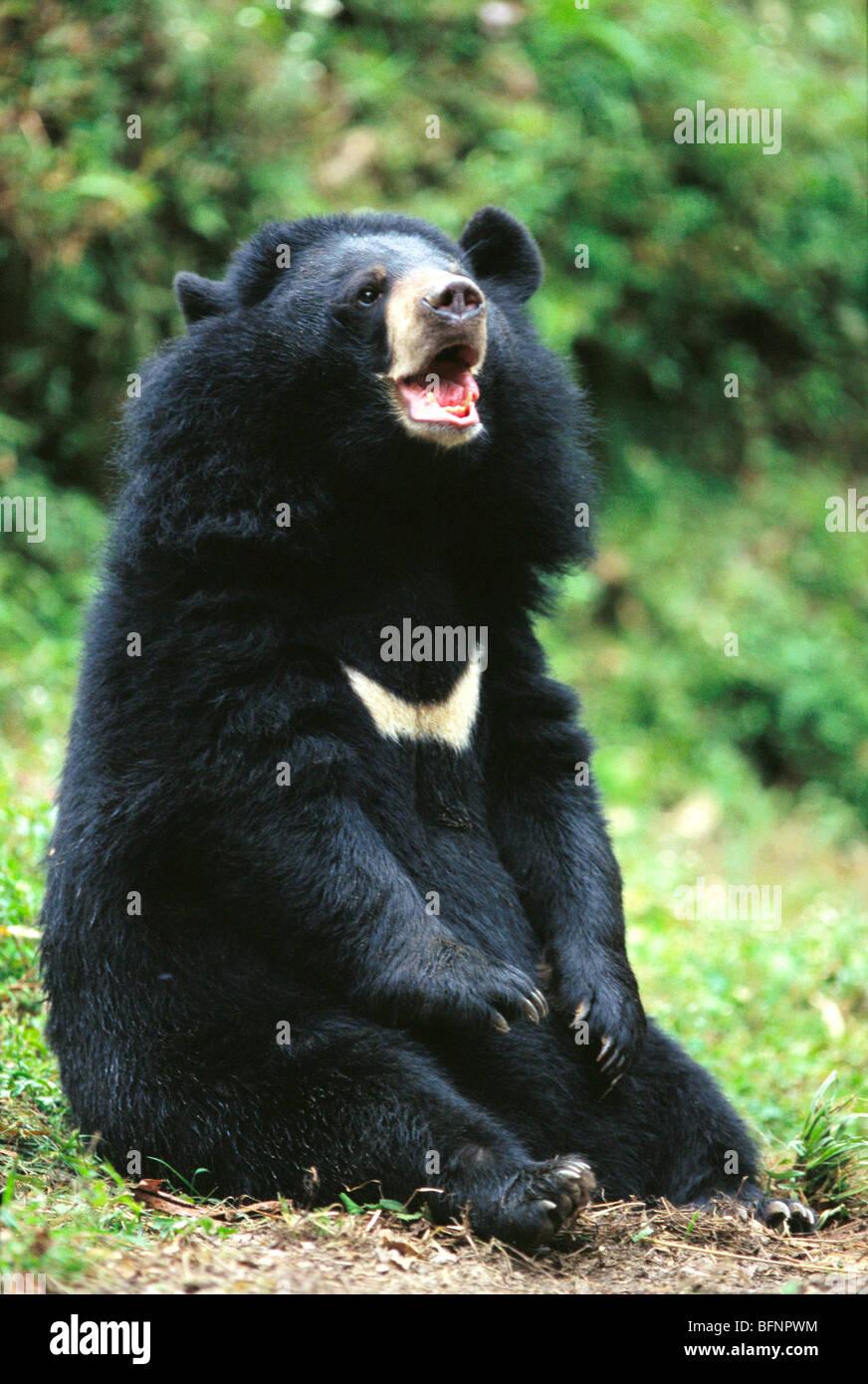Himalayan black bear , Darjeeling , West Bengal , India - aad 60471 - Stock Image