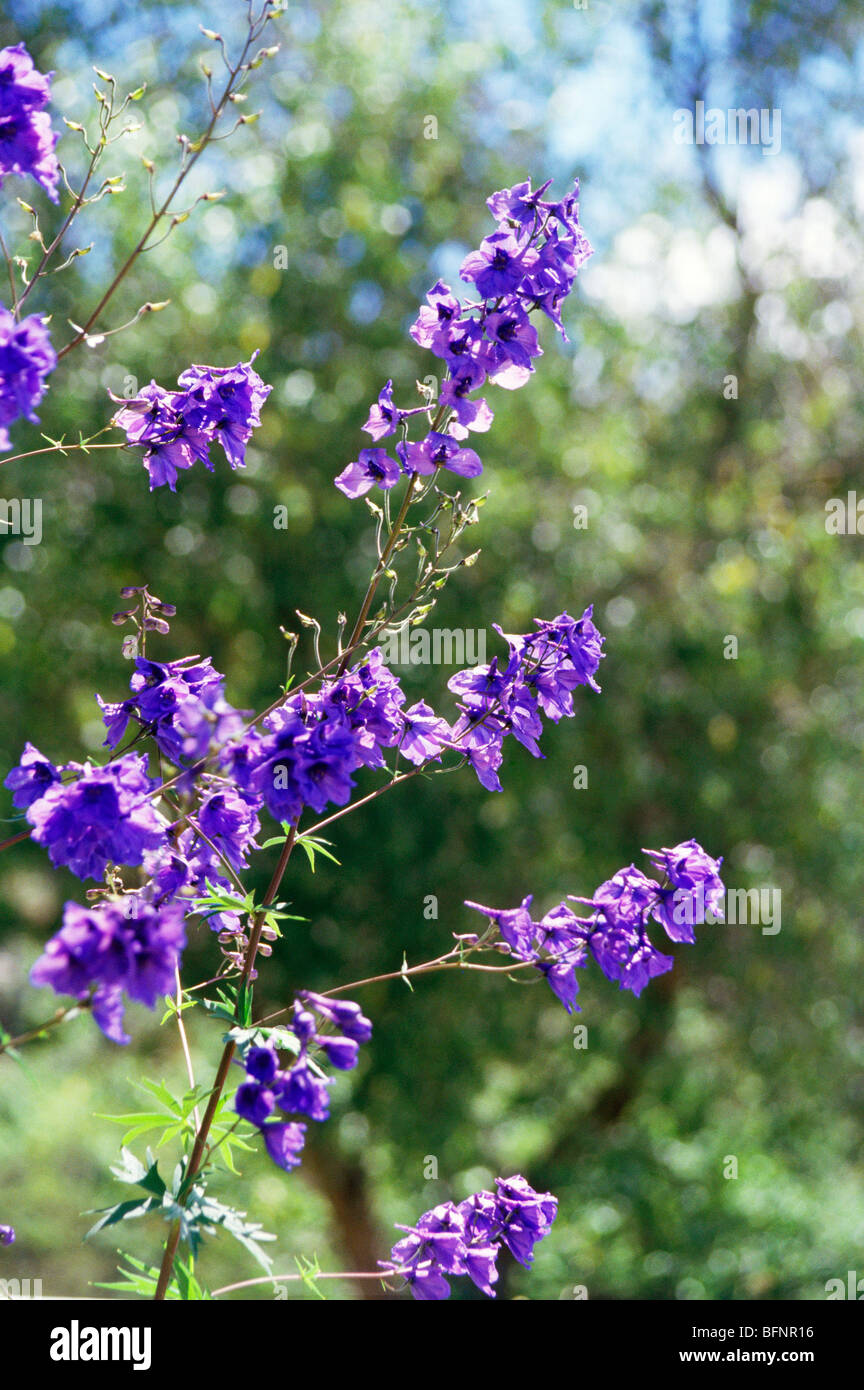 MAA 62843 : Larkspur ; Delphinium Consolida ; violet flower ; India - Stock Image