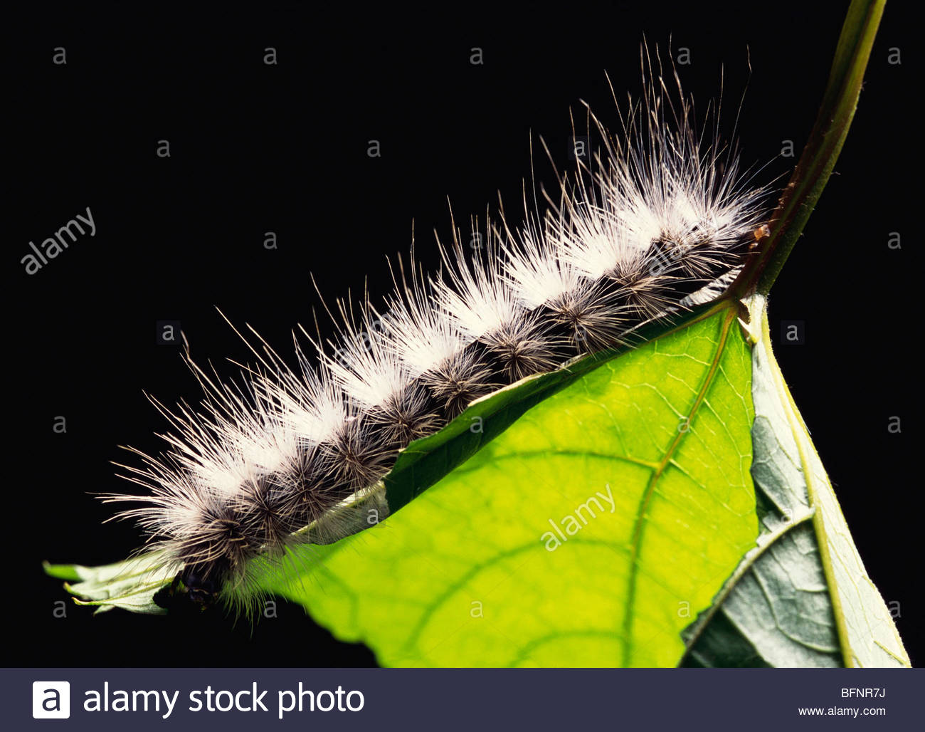 NKA 60415 : Insects ; wooly bear caterpillar on green leaf - Stock Image