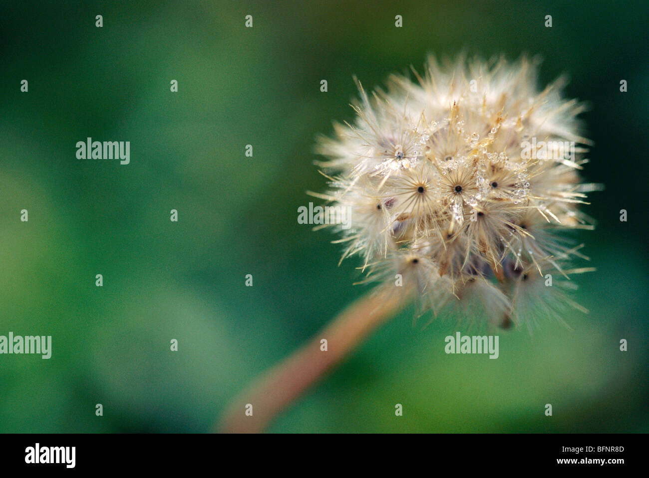 TAN 62862 : Frost on dry flower ; India - Stock Image
