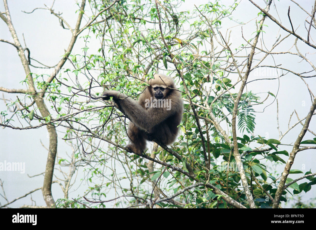 IKA 60647 : Endangered ape hoolock gibbon hylobates hoolock on tree - Stock Image