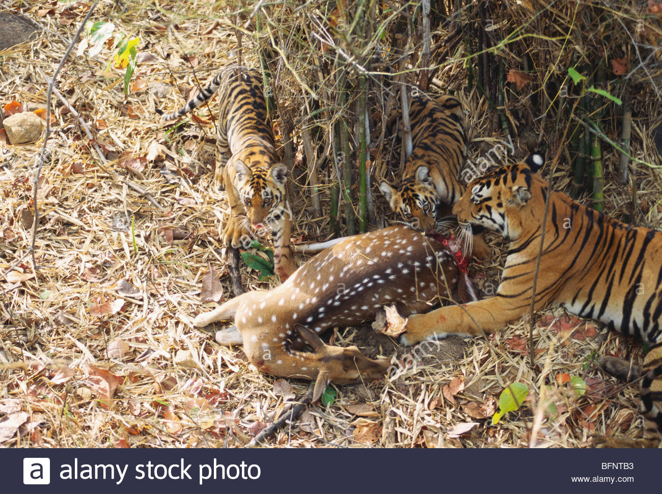PSL 60690 : Tigress & two cubs panthera tigris busy in eating chital deer india - Stock Image