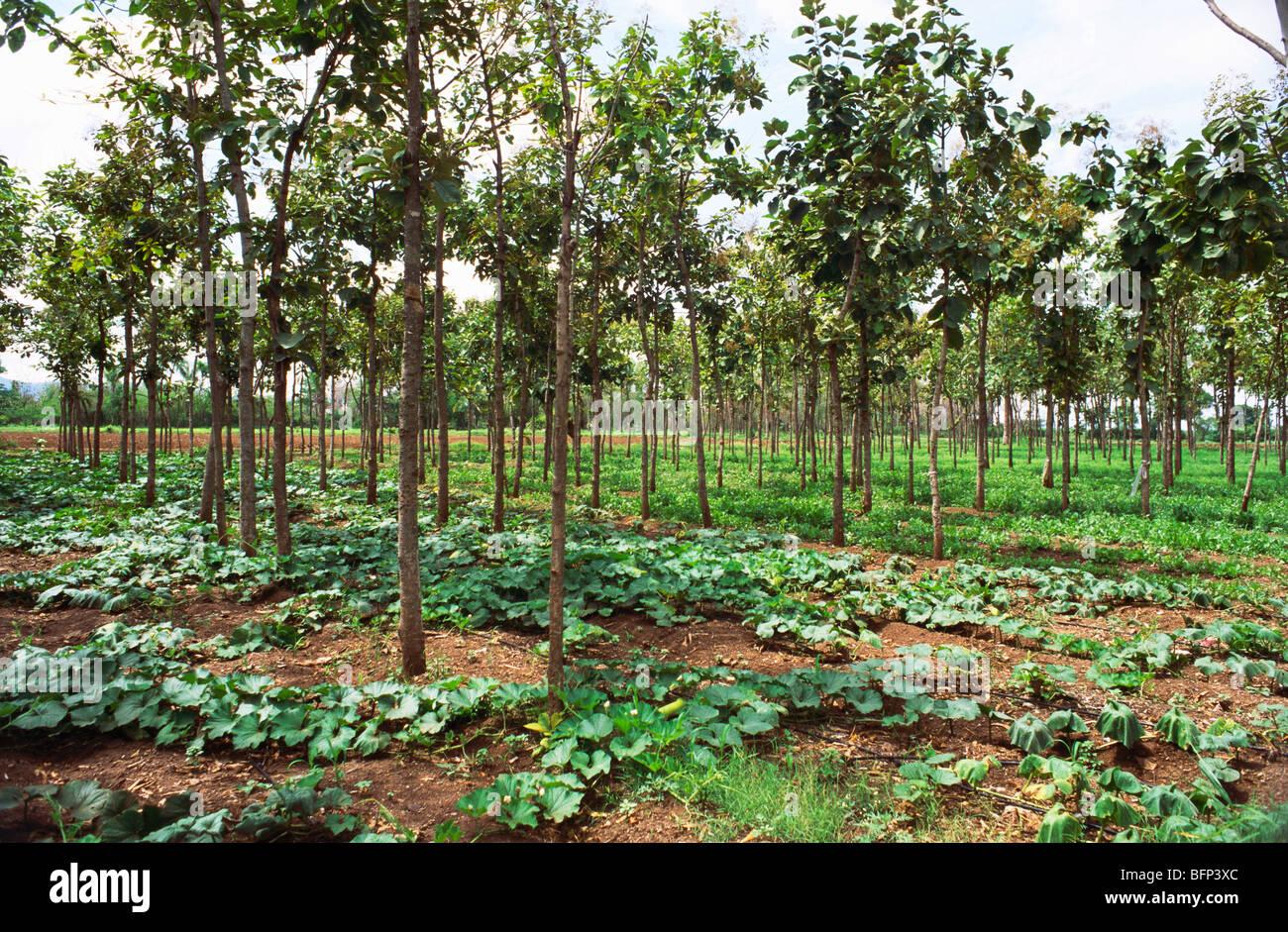 Teak Wood Trees Stock Photos Teak Wood Trees Stock Images