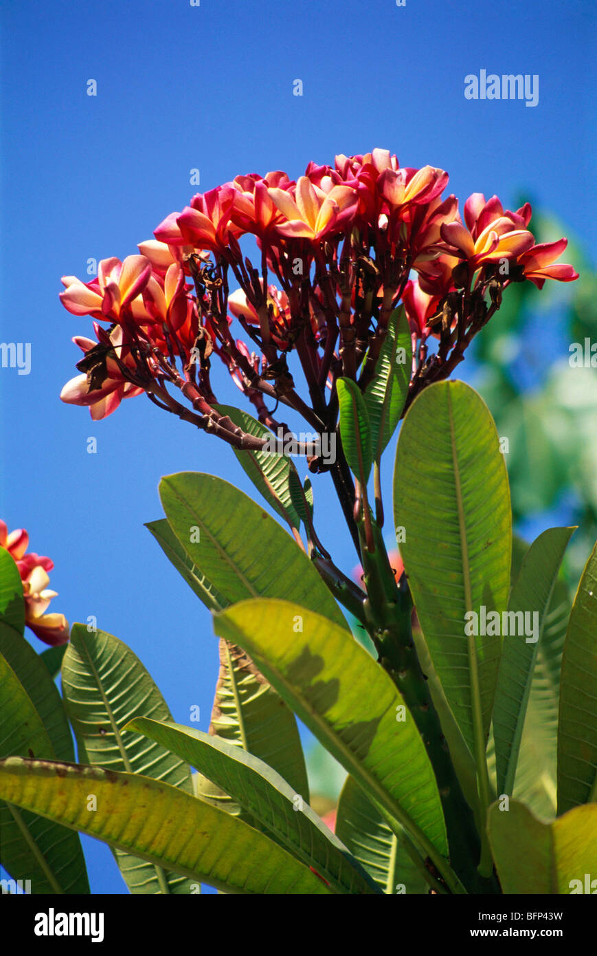 MNN 65776 : Nature red Champa tree ; India - Stock Image