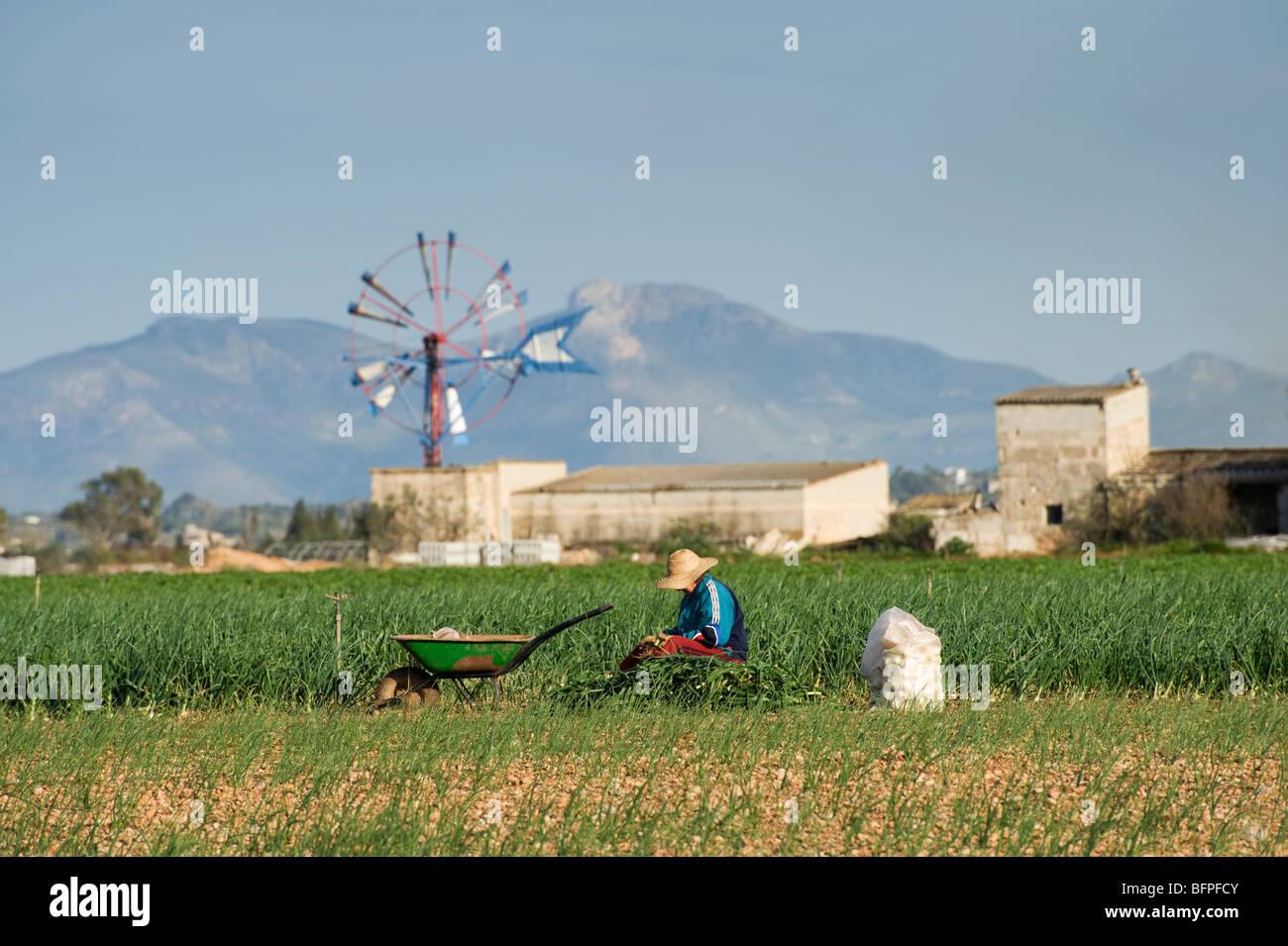 Harvesting onions, Mallorca, Majorca, Spain. Stock Photo