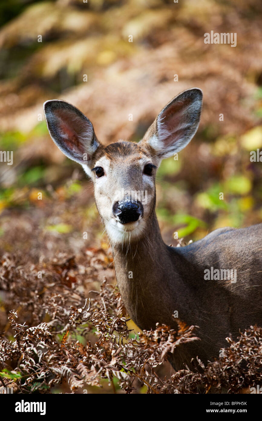 A White-Tailed Deer (Odocoileus virginianus) also known as the Virginia deer or the whitetail in Quebec, Canada - Stock Image