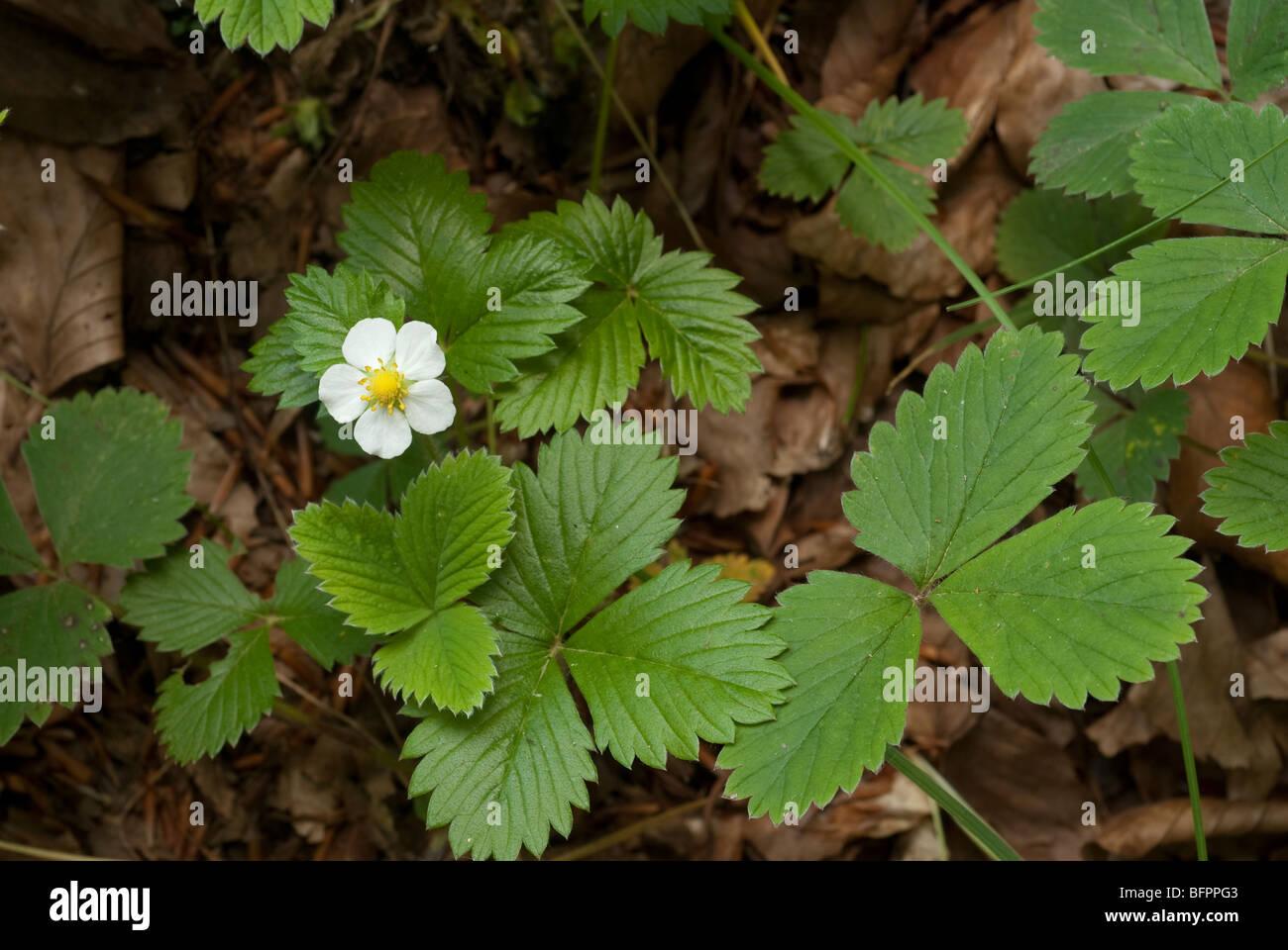 Wild Strawberry Fragaria vesca, Rosaceae, Monti Simbruini Park, Jenne, Lazio, Italy - Stock Image