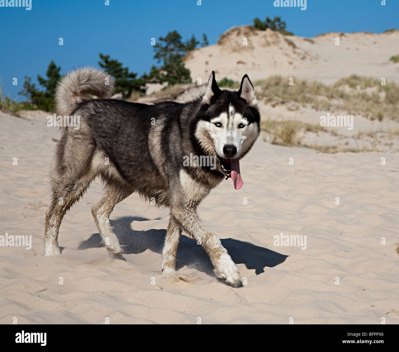 Dog with tongue hanging out panting in heat of sand dunes Poland - Stock Image