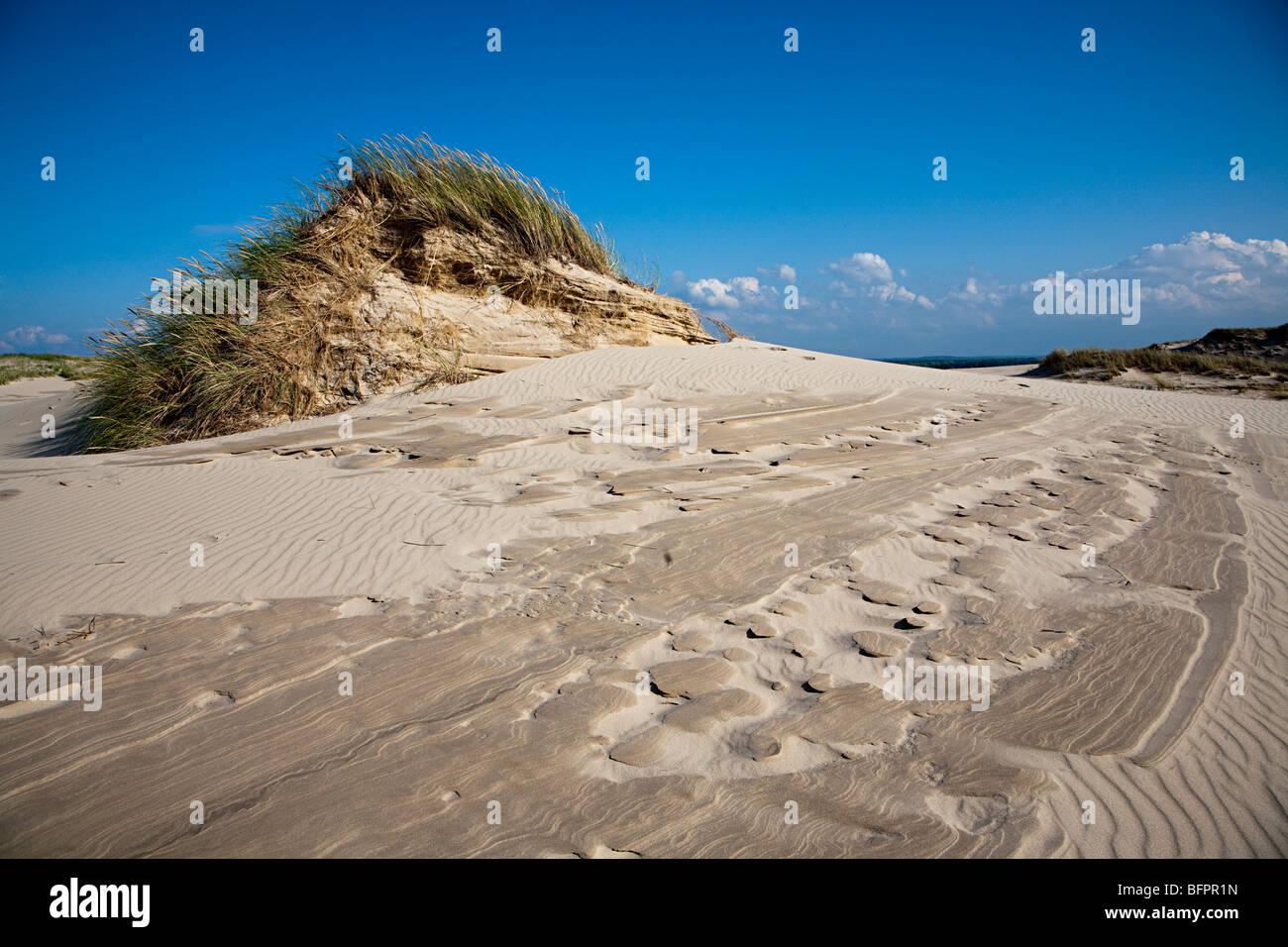 Marram grass Ammophilia arenaria consolidating Wydma Czolpinska dune Slowinski national park Poland - Stock Image