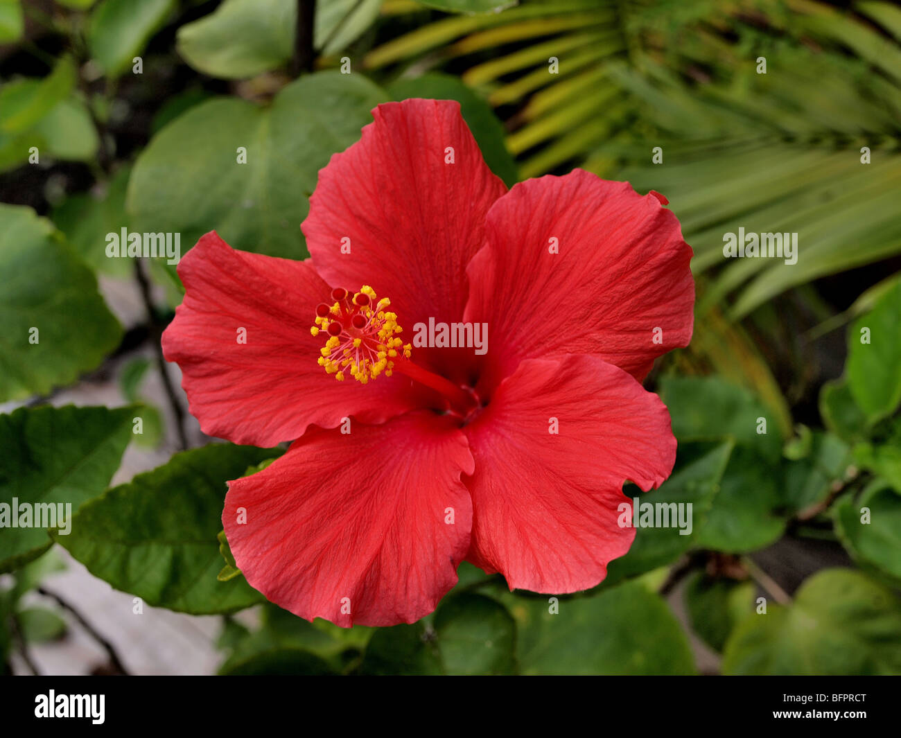 Red flower hibiscus in green stock photos red flower hibiscus in red flower with yellow stamen oriental hibiscus with green foliage in background stock image mightylinksfo