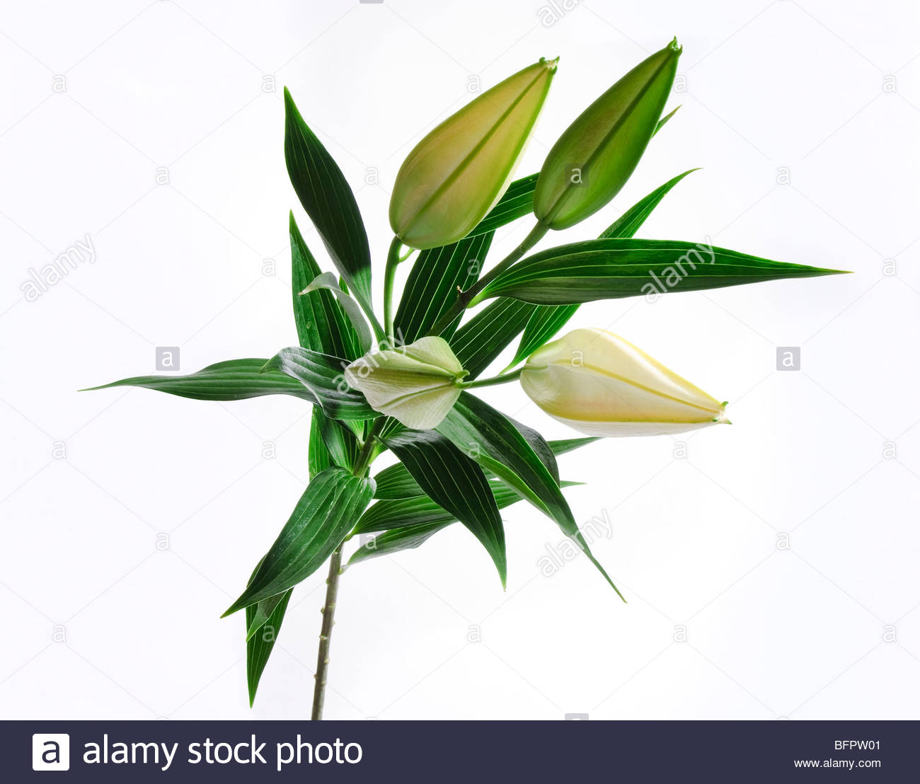 Lily buds and stems - Stock Image