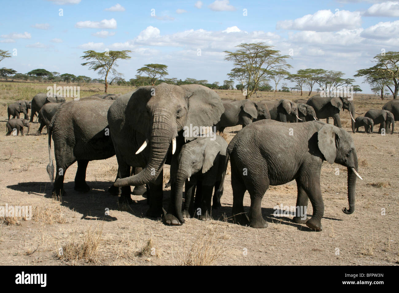 Family Group Of African Elephants Loxodonta africana Taken In The Serengeti NP, Tanzania - Stock Image
