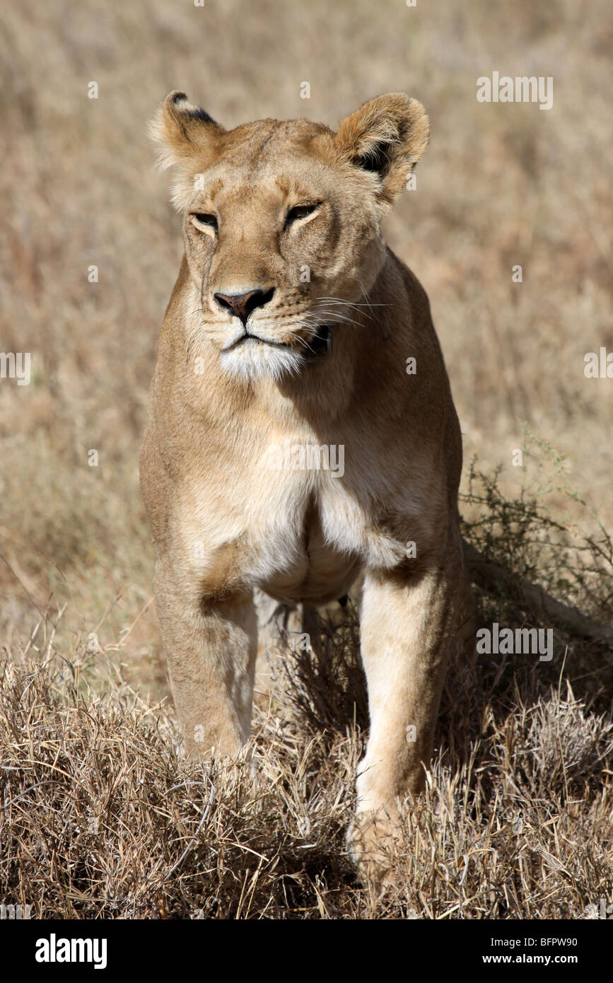 Female African Lion Panthera leo Sitting Upright Taken In The Serengeti NP, Tanzania - Stock Image