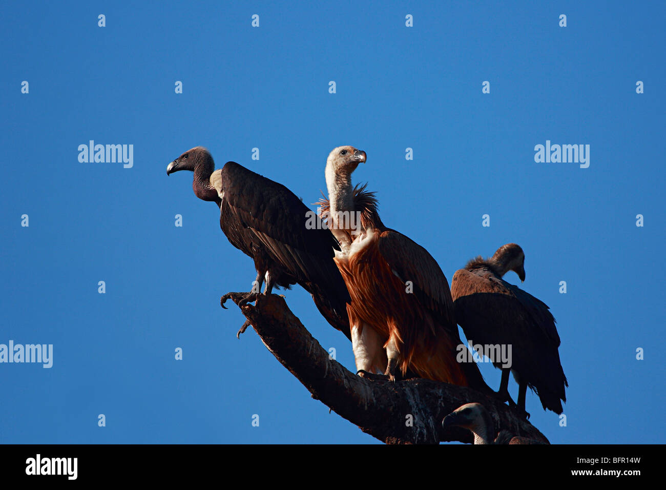 Vultures, Gyps indicus, is an Old World vulture in the family Accipitridae. - Stock Image