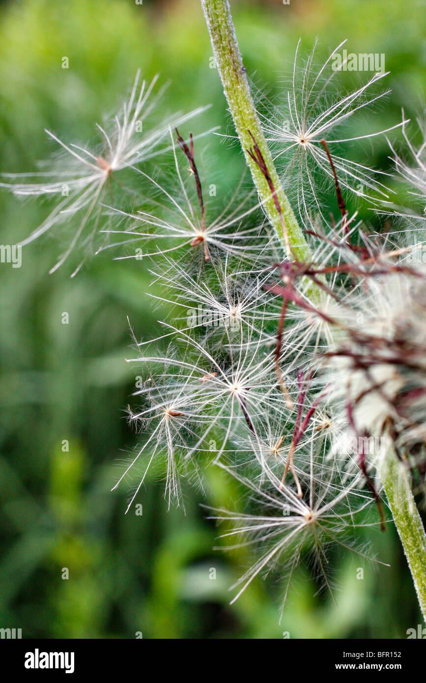 Wind dispersal - seeds of Cirsium rivulare atropurpureum - Stock Image