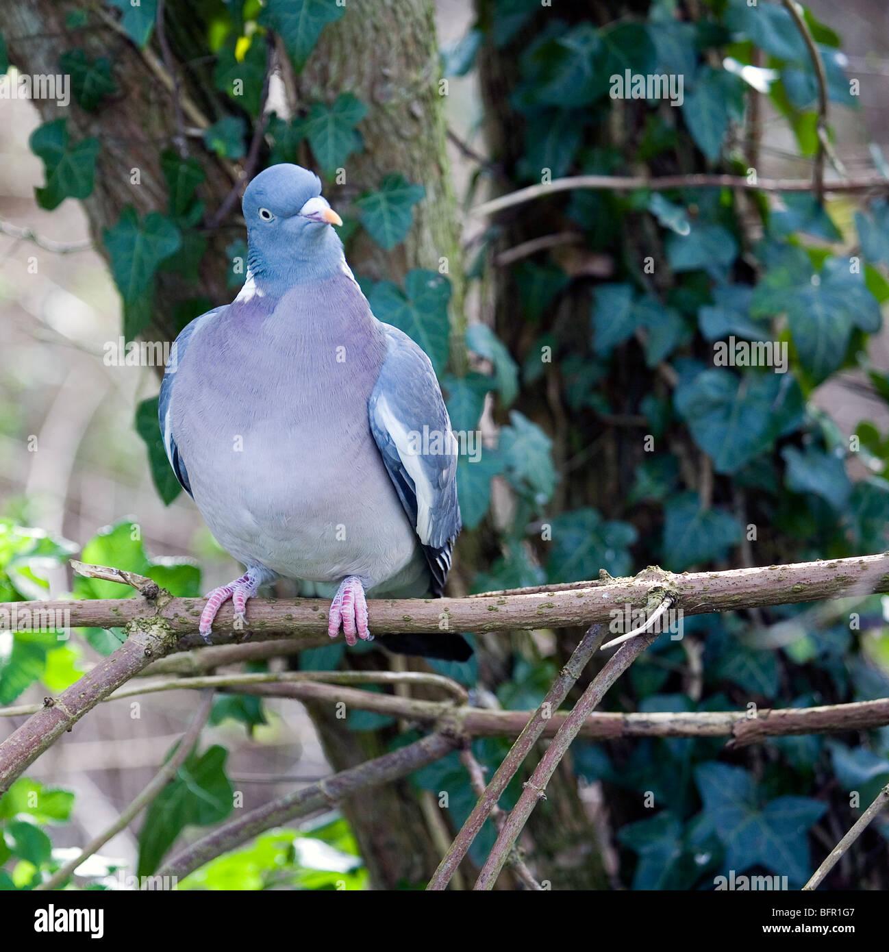 Wood Pigeon (Columba palumbus) perched in tree - Stock Image